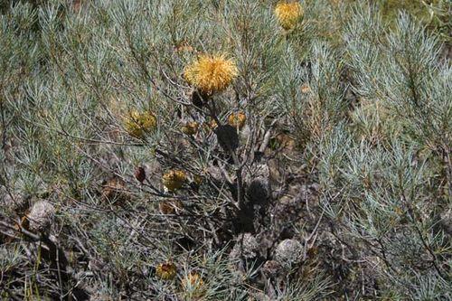 Banksia sphaerocarpa var caesia photo