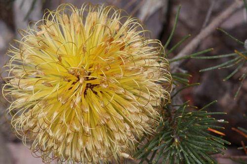 Banksia sphaerocarpa var sphaerocarpa photo