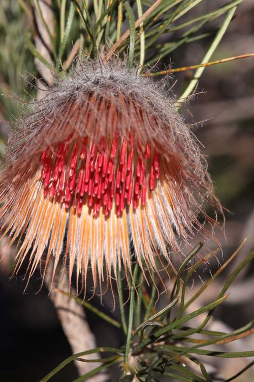 Banksia splendida photo