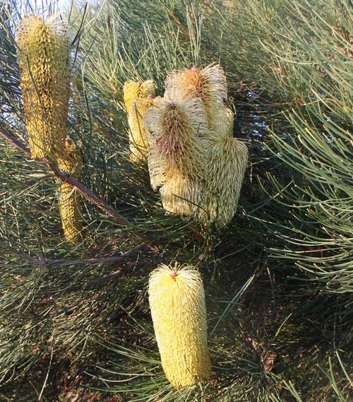 Banksia tricuspis photo