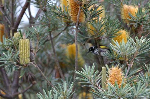 Banksia verticillata photo