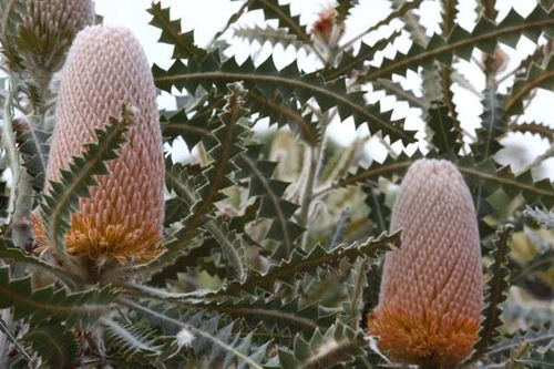 Banksia victoriae photo