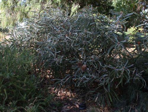 Banksia victoriae photo