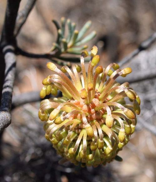 Banksia violacea photo