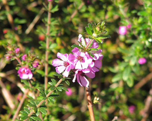 Bauera sessiliflora photo