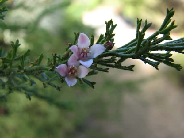 Boronia anemonifolia photo
