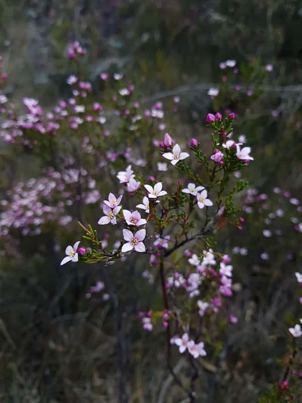 Boronia deanei photo