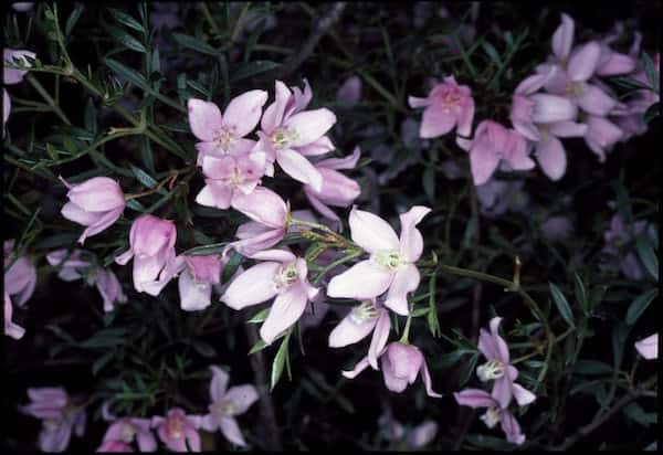 Boronia floribunda photo