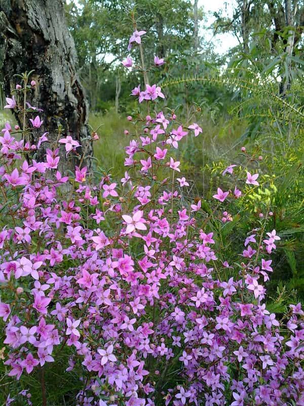 Boronia ledifolia photo