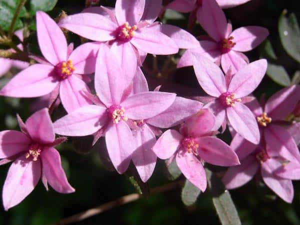 Boronia mollis photo
