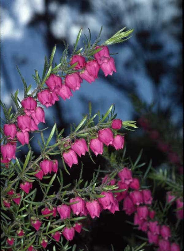 Boronia molloyae photo