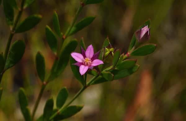 Boronia parviflora photo