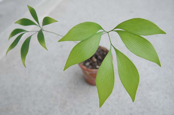 Bowenia spectabilis photo