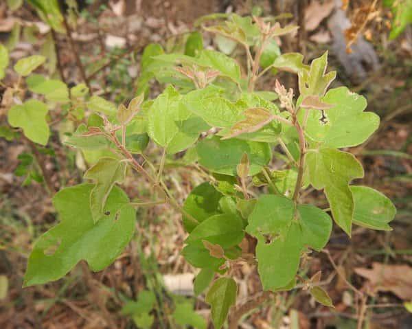 Brachychiton bidwillii photo