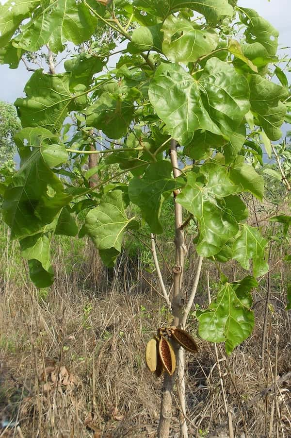 Brachychiton megaphyllus photo