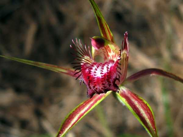 Caladenia arenicola photo