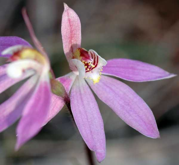 Caladenia carnea photo