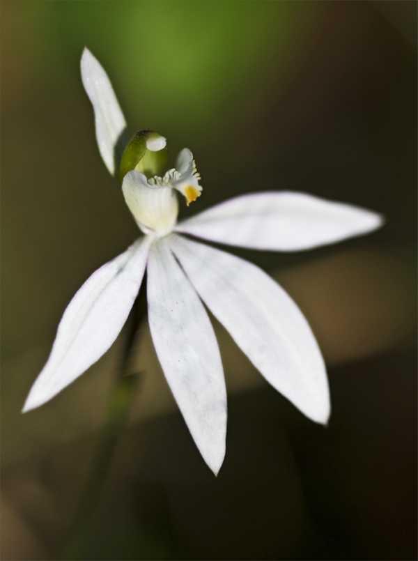 Caladenia catenata photo