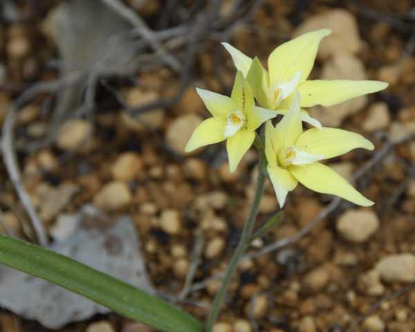Caladenia flava photo