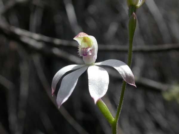 Caladenia moschata photo