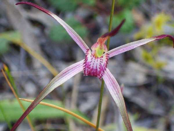 Caladenia versicolor photo