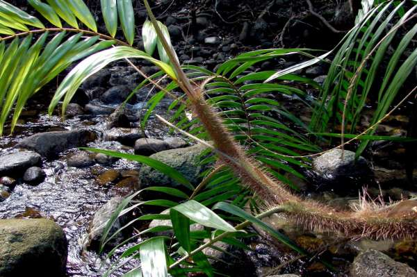 Calamus australis photo
