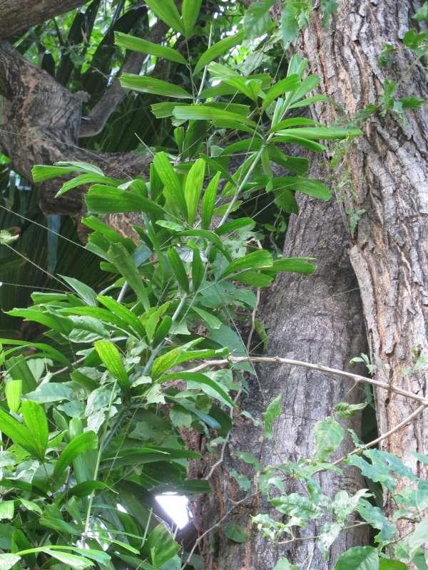 Calamus caryotoides photo