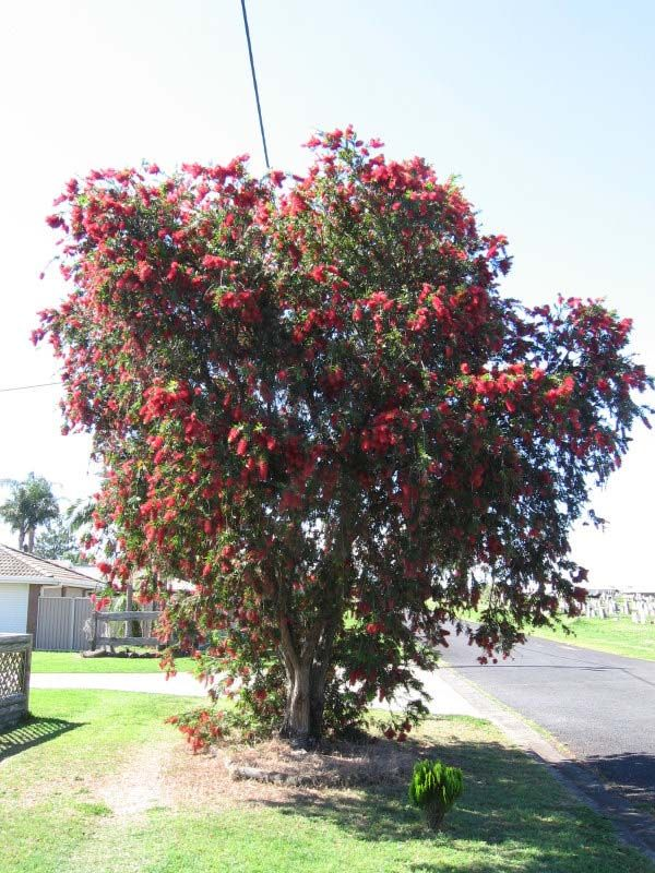 Callistemon viminalis photo