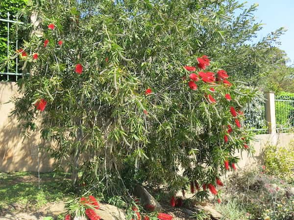Callistemon 'Harkness' photo