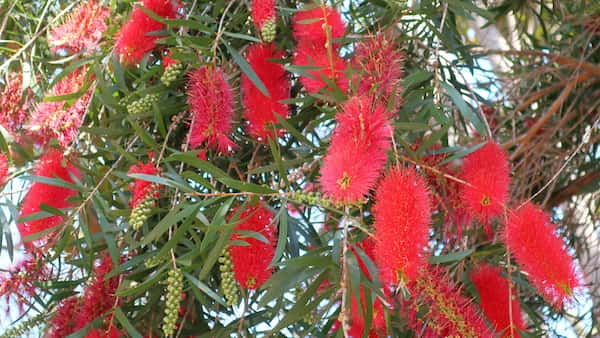 Callistemon 'Kings Park Special' photo
