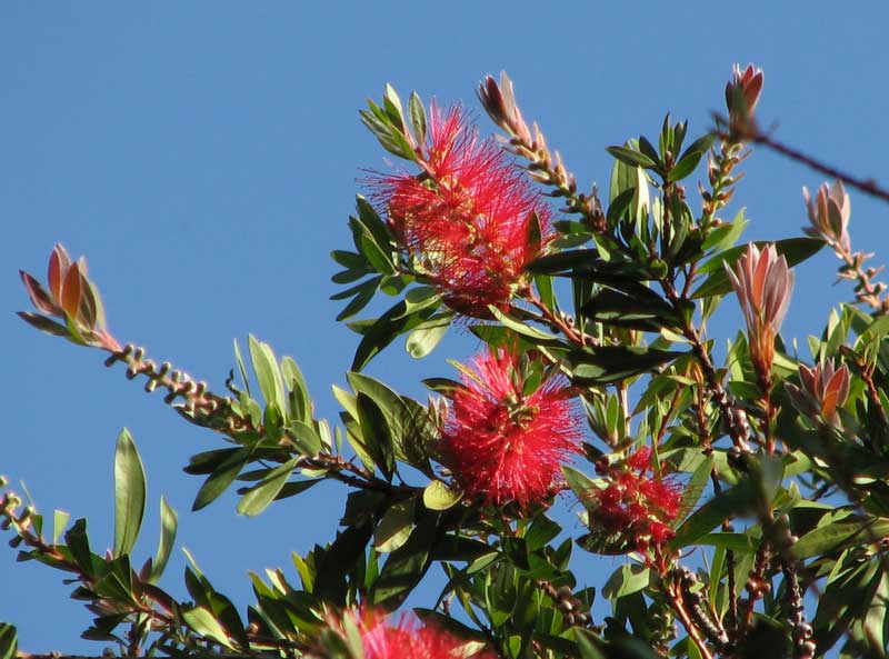 Callistemon citrinus 'Splendens' photo