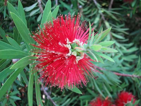Callistemon montanus photo