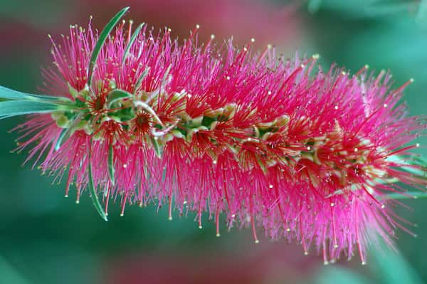 Callistemon phoeniceus photo