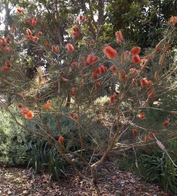 Callistemon pinifolius photo