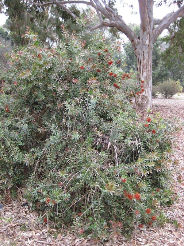 Callistemon polandii photo