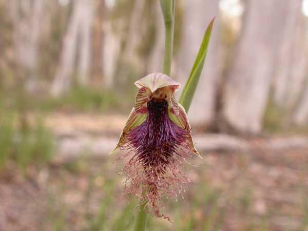 Calochilus platychilus photo
