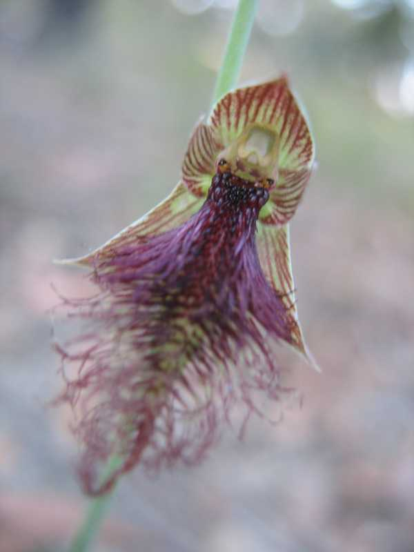 Calochilus robertsonii photo