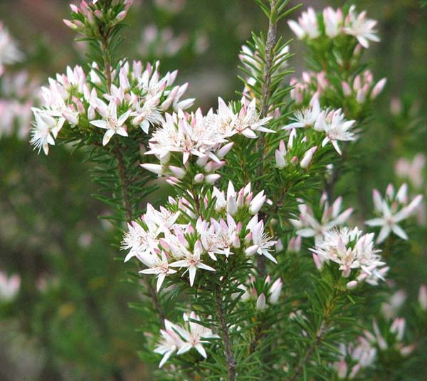 Calytrix sullivanii photo