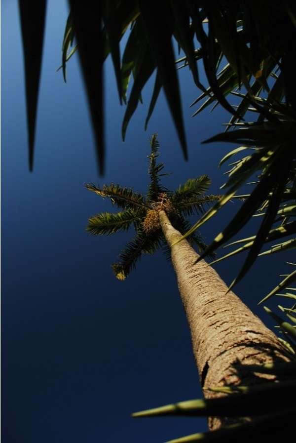 Carpentaria acuminata photo