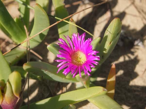 Carpobrotus glaucescens photo