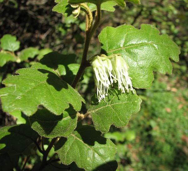 Chorilaena quercifolia photo