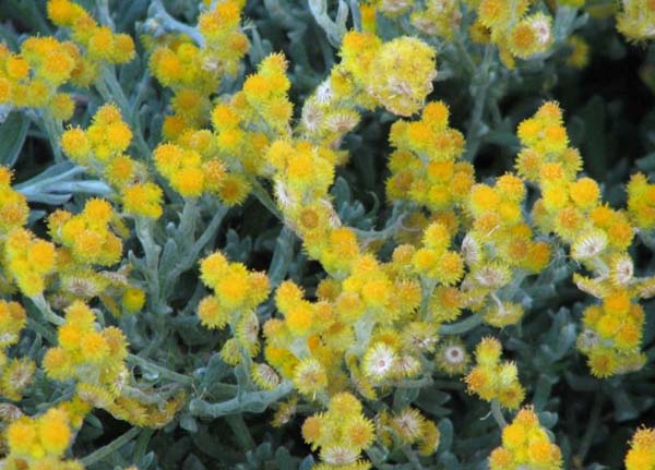 Chrysocephalum apiculatum photo