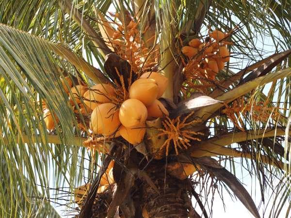 Cocos nucifera photo