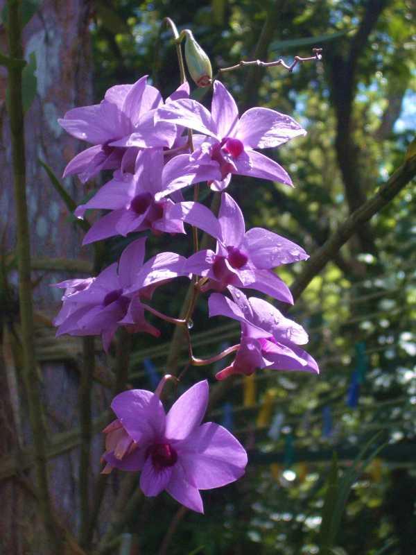 Vappodes phalaenopsis photo