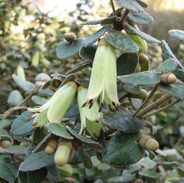 Correa reflexa var nummulariifolia photo