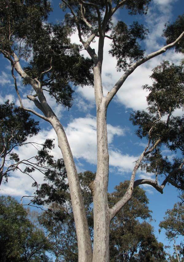 Corymbia maculata photo