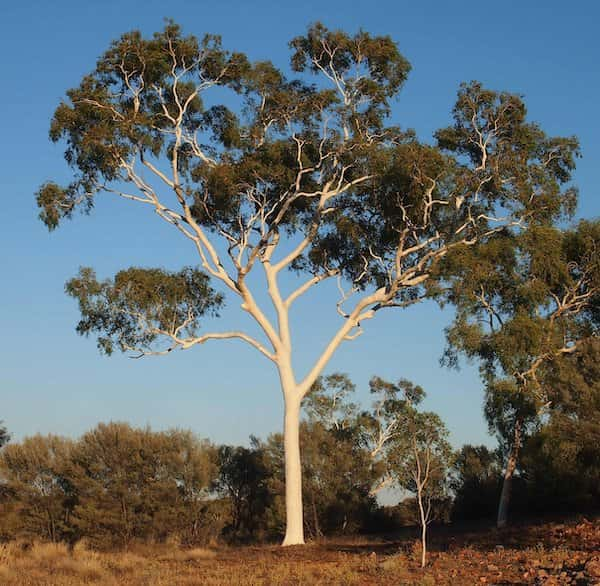 Corymbia aparrerinja photo