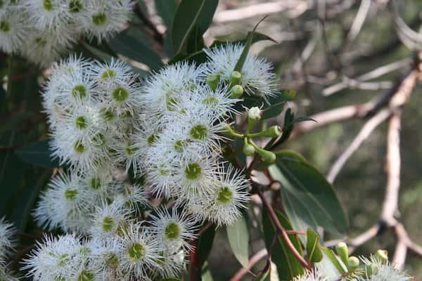 Corymbia gummifera photo