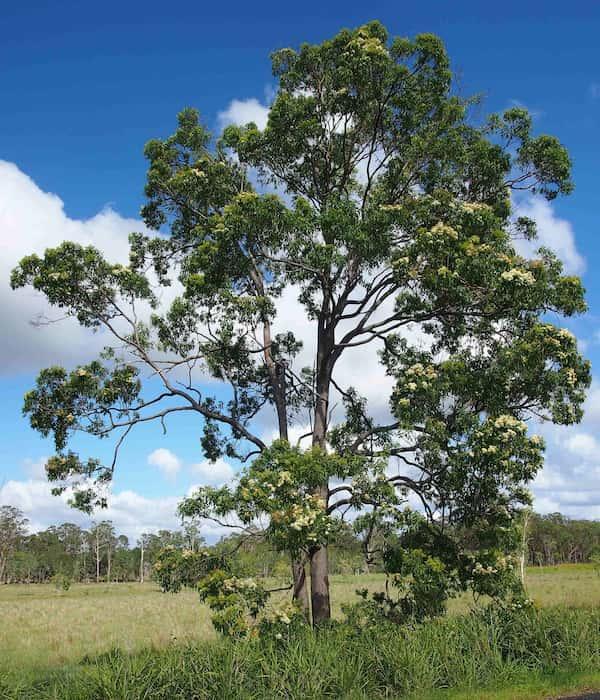 Corymbia intermedia photo