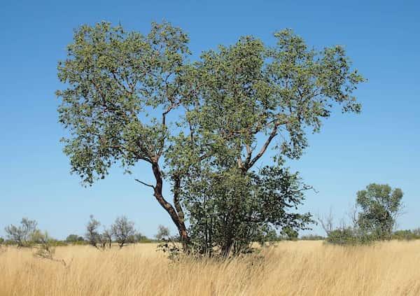 Corymbia setosa photo